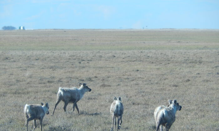Caribou on Alaska's North Slope, with Prudhoe Bay oil installations in the background on June 22, 2014. (Monteuxs via Wikimedia Commons/CC BY-SA 4.0)