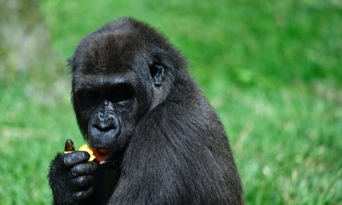 A gorilla eats an ice treat at the Zoo Aquarium in Madrid on Aug. 12, 2021. (Pierre-Philippe Marcou / AFP via Getty Images)