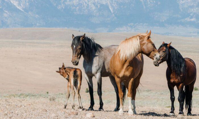 Wild horses roam throughout the Carson Valley. (Dennis Lennox)