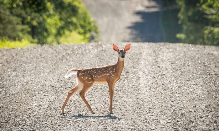 A deer crosses a dirt road in New Albion, N.Y., on July 20, 2020. (Brendan McDermid/Reuters)
