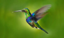Meet the Crowned Woodnymph Hummingbird That Wears a Plumage of Blue-Green 'Sequins'