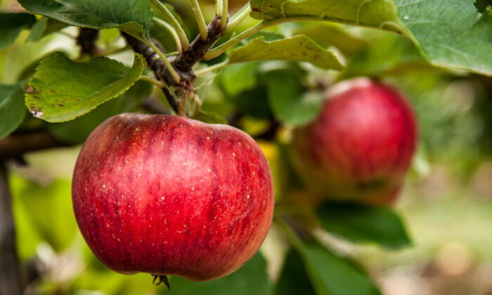 You can conduct several easy tests to see if your apples are ripe and ready to harvest. (UweMosch/Shutterstock)