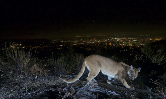 An uncollared adult female mountain lion photographed with a motion sensor camera in the Verdugos Mountains in in Los Angeles County, Calif. on July 10, 2016. (U.S. National Park Service via AP)