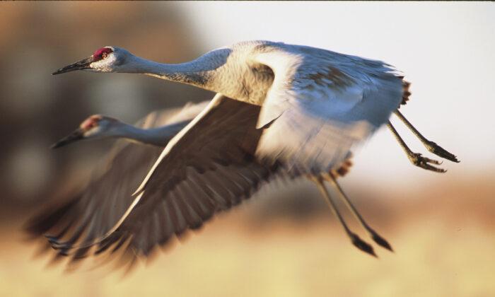 A pair of sandhill cranes in flight. (moosehenderson/Shutterstock)