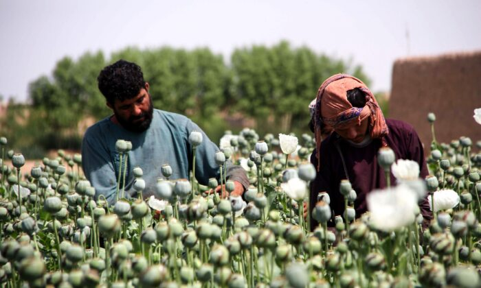In this photograph taken on April 13, 2019, Afghan farmers harvest opium sap from a poppy field in the Gereshk district of Helmandz Province, Afghanistan.  Afghanistan is the world's top grower of opium, and the crop accounts for hundreds of thousands of jobs. (Noor Mohammad/AFP via Getty Images)