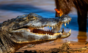 Wildlife Photographer Captures Caiman Greeting Butterfly Sitting on Its Snout