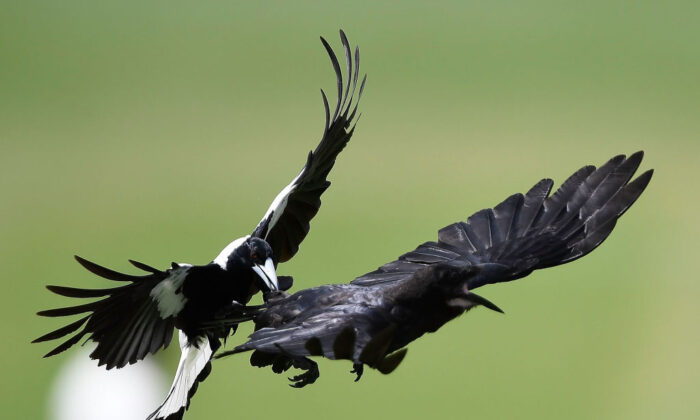 A magpie attacks a crow at Tony Ireland Stadium in Townsville, Australia, on Nov. 17, 2017 (Ian Hitchcock/Getty Images)