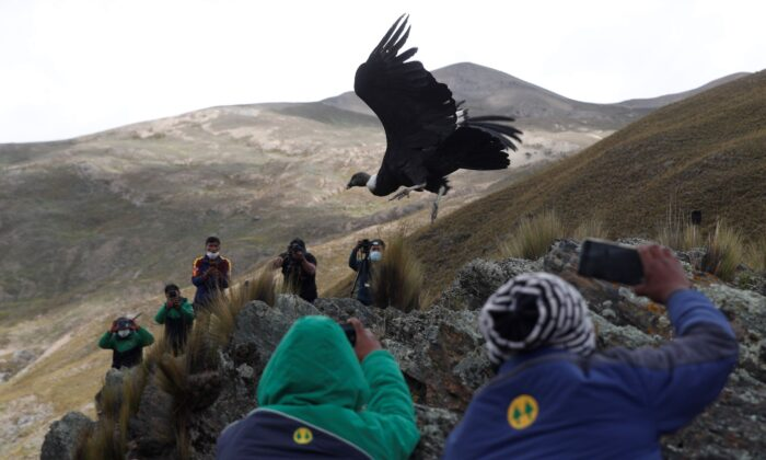 Scientists and journalists watch as an Andean condor is released into the wild as part of a project run by a state conservation program, on the outskirts of Choquekhota, Bolivia, on Feb. 23, 2021. (Juan Karita/AP Photo)
