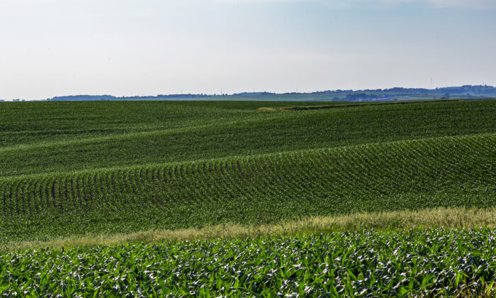 Rows of young corn plants. (Dreamstime/TNS)