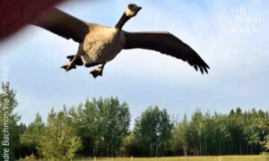 Truck Driver Helps a Canada Goose Find Resting Place