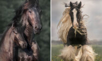 Photographer Captures the Awesome Power of Draft Horses in Her Dramatic Equine Action Shots