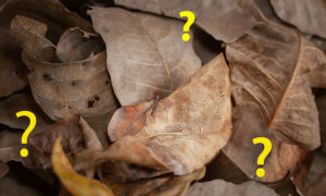 Can You Spot the Expertly Camouflaged Moth in This Ordinary Photo of Crisp Brown Leaves?