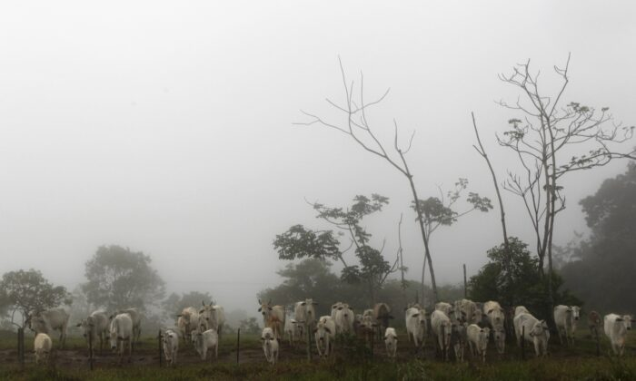 Cattle are seen on a farm with fog in the city of Chapada dos Guimaraes, in the central Brazilian state of Mato Grosso, on Feb. 8, 2013. (Paulo Whitaker/Reuters)