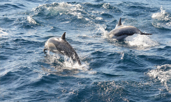 Dolphins 'Alert' Rescue Crew to Missing Swimmer Stranded at Sea for 12 Hours
