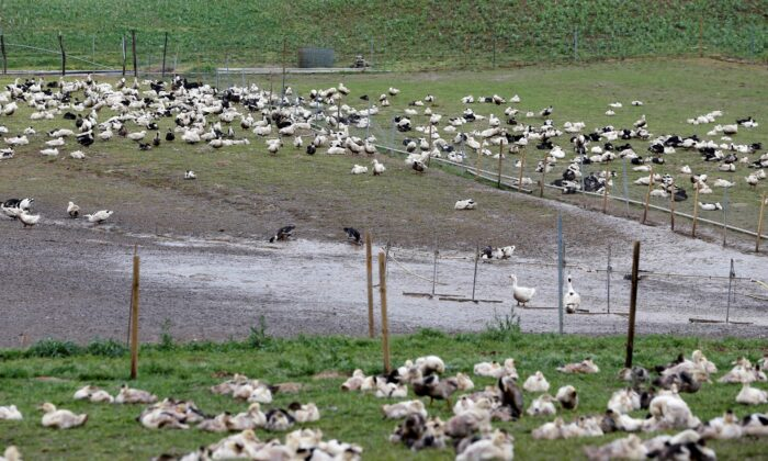Ducks are pictured in a field at a poultry farm in Montsoue, France, on Jan. 12, 2017. (Regis Duvignau/Reuters)