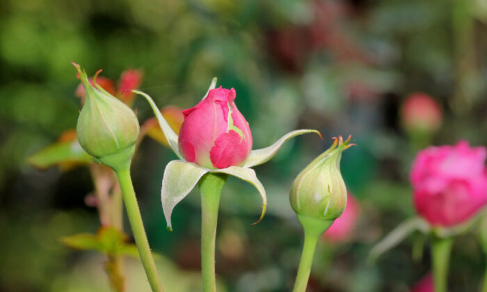 If your roses don't bloom despite new branches, a rose midge may be the culprit. (Beach Creatives/Shutterstock)