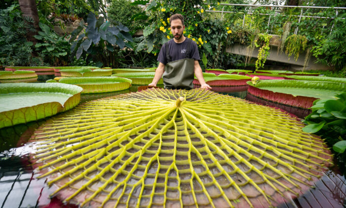 Botanical Horticulturalist Alberto Trinco with an upturned leaf from Kew Garden's giant water lilies Victoria Amazonica, which are the world's largest water lily species, at the Royal Botanic Gardens Kew, in Richmond, London, on Sept. 15, 2021. (Dominic Lipinski/PA)