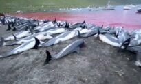 Faroe Islands Look Into Dolphin Killings After Record Slaughter