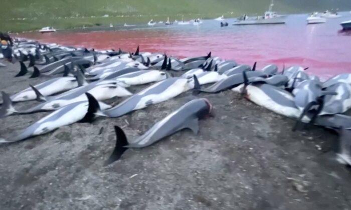 Dead dolphins on beach and in water in Skalafjorour, Faroe Islands, on Sept. 2, 2021. (Sea Shepherd/Screenshot via The Epoch Times)