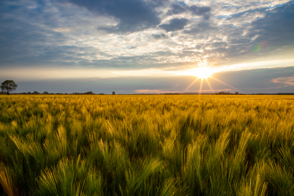 Sunset,Over,A,Barley,Field,On,The,Romney,Marsh,,The