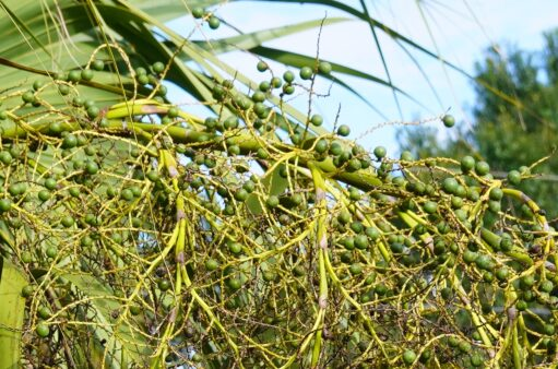 Florida's Saw Palmetto Harvesters: Open Borders and Early Picking Destroying the Industry