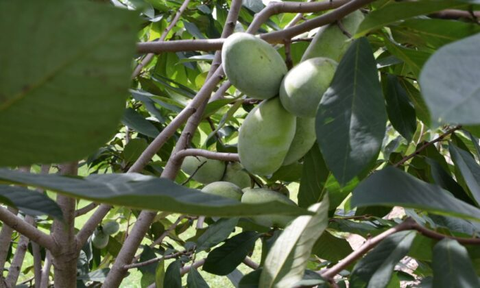 Clusters of Pawpaw fruit on tree at Horn Farm Center in York, Pa., on Sept. 21, 2021. (Beth Brelje/The Epoch Times)