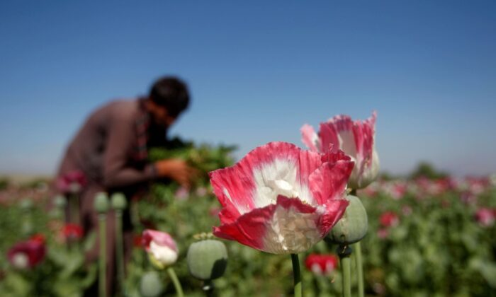 An Afghan man works on a poppy field in Jalalabad Province on April 17, 2014. (Parwiz/Reuters)