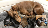 Doberman 'Adopts' Abandoned Kitten After Giving Birth to Her Own Litter of Puppies