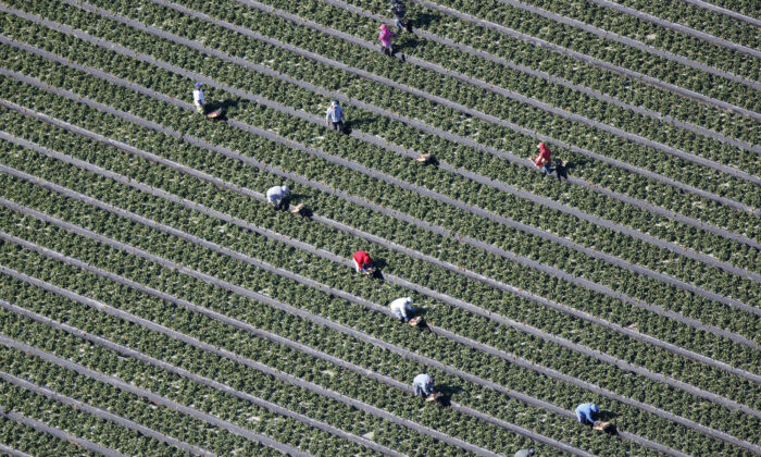 An aerial view shows field workers picking vegetables on a farm in Oxnard, California, on Feb. 24, 2015. (Lucy Nicholson/Reuters)