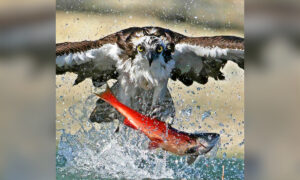 Stunning Photos Show Osprey Snatching Red Salmon out of Lake, Lifting Them Airborne