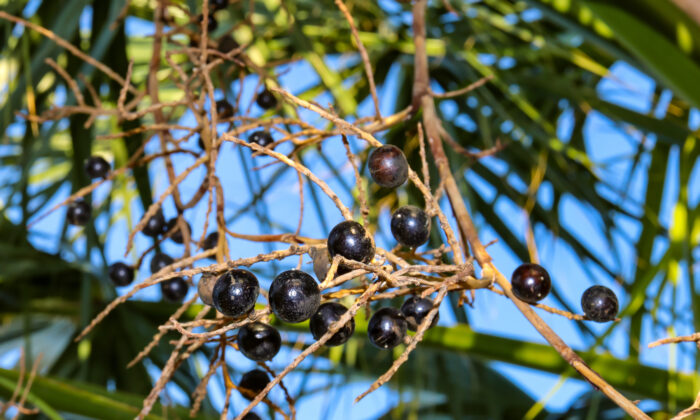 Saw Palmetto (Serenoa repens) berries have long been used by Native Americans for its nutritional, diuretic, sedative, aphrodisiac, and cough-reducing properties.