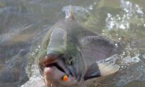 Fishers, Experts Await Details on Ottawa's Latest Plan to Save Pacific Salmon
