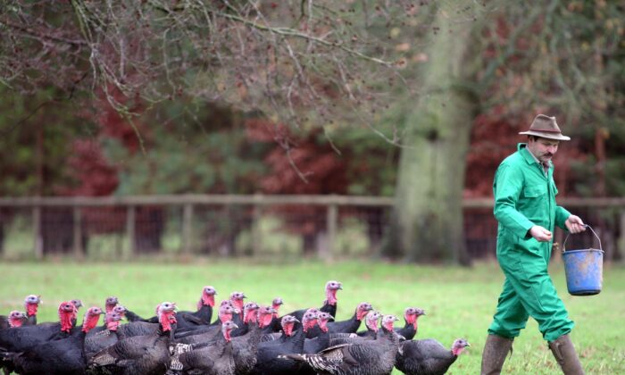 Brian Taplin feeds the free-range Norfolk Black organic turkeys on Laverstoke Park Farm, on their final day before being killed for the Christmas Day table, in Overton, England, on Dec. 12 2006. (Matt Cardy/Getty Images)