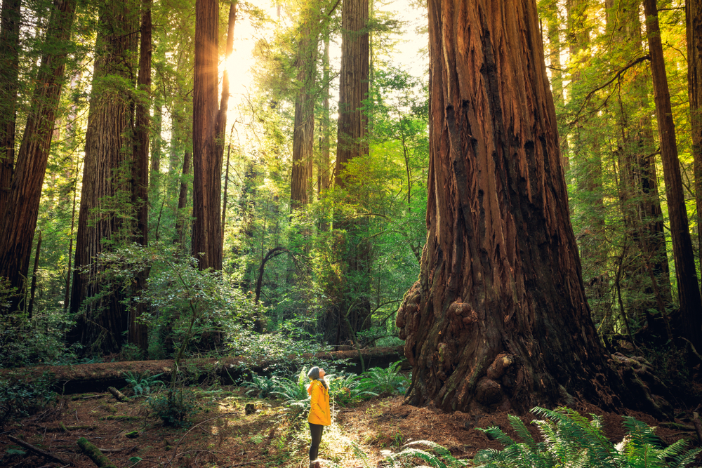 Sunrise,In,The,The,Redwoods,At,Redwoods,National,And,State
