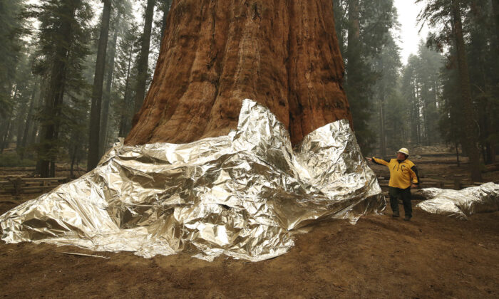 Operations Section Chief, Jon Wallace looks over General Sherman where the historic tree was protected by structure wrap from fires along with the Four Guardsmen at Sequoia National Park, Calif., on Sept. 22, 2021. (Gary Kazanjian/AP Photo)