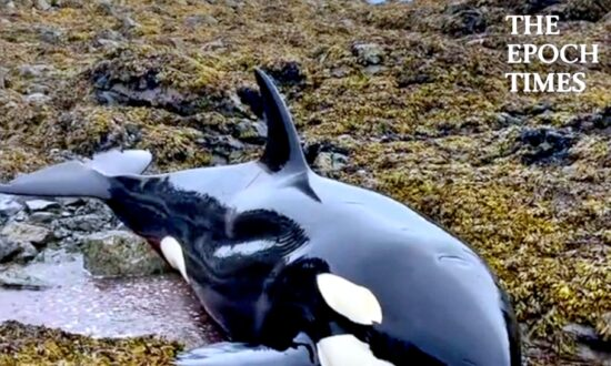 Stranded Killer Whale Survives With the Help of Humans