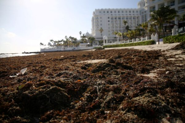 beach covered with sargassum