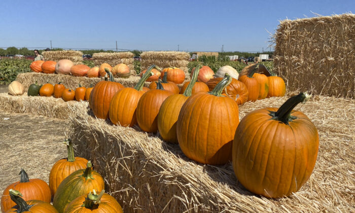 Pre-picked pumpkins sit on haystacks for people to take or photograph with at Cool Patch Pumpkins in Dixon, Calif., on Sept. 26, 2021. (Ilene Eng/  Pezou)