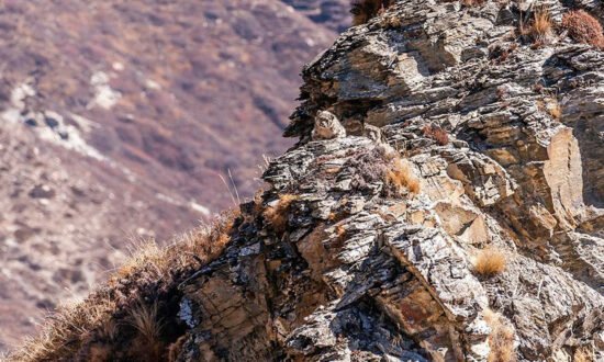 Can You Spot the Snow Leopard Cub Perfectly Camouflaged Beside Its Mom in This Himalayan Landscape Photo?