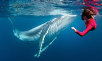 Incredible Photoshoot Shows Diver's Breathtaking Closeup Encounter With Humpback Whale Calf