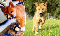 Wounded 'Pup' Dropped Into Lady's Yard by Bird Turns Out to Be Rare Dingo Down Under