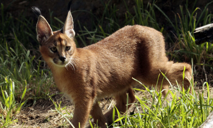 A male caracal cat native to Africa explores his new habitat at the Oregon Zoo in Portland, Ore., on Sept. 1, 2011. (Don Ryan/AP Photo, File)