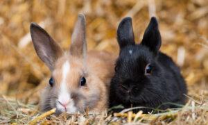 Sterilizing Pet Rabbits Has Medical and Behavioral Benefits