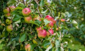 It's Apple (Planting) Season