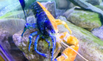 1-in-50-Million Blue-Orange Lobster Rehomed After Aquarium in Maine Closed During COVID