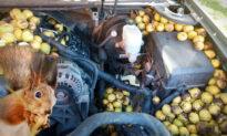 Fargo Man Finds 180 Pounds of Walnuts Stashed by Red Squirrel Inside His Chevy Avalanche
