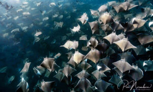 Divers Mesmerized by Swarm of Thousands of Mobula Rays in Baja—and the Photos Are Surreal
