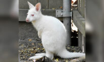 Rare White Albino Wallaby Baby Peeks Head Out of Mom's Pouch for First Time at Manhattan Zoo