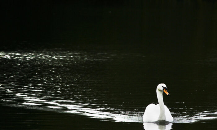 A swan swims through a lake in the grounds of Osterley Park, a National Trust property in Isleworth Middlesex, west of London, on April 7, 2006. (Adrian Dennis/AFP via Getty Images)