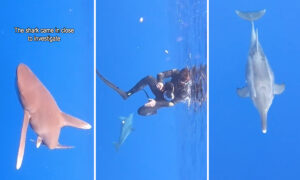 VIDEO: Dolphin Spots Shark Circling Near Scuba Divers—Amazingly Tries to 'Protect' Them